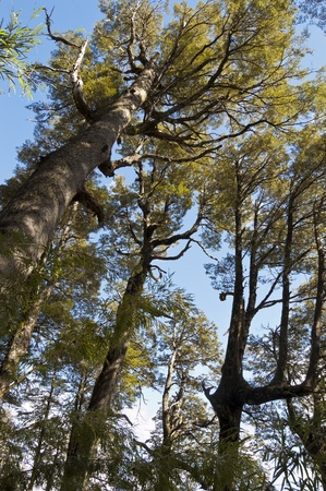 Araucaria and Lenga forest, Conguillio National Park, Chile photo