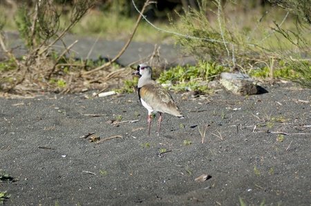 charadriiformes: Southern Lapwing (Vanellus chilensis). It is a wader in the family Charadriiformes.It is a common and widespread resident throughout South America  Stock Photo