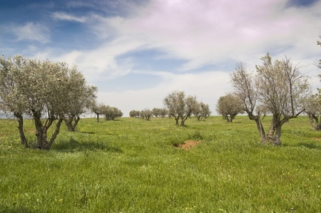 Neglected olive grove in Ciudad Real countryside (Spain) photo