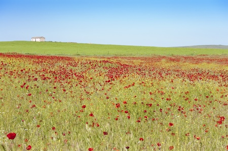 Barley crop with poppies in Ciudad Real province (Spain) photo