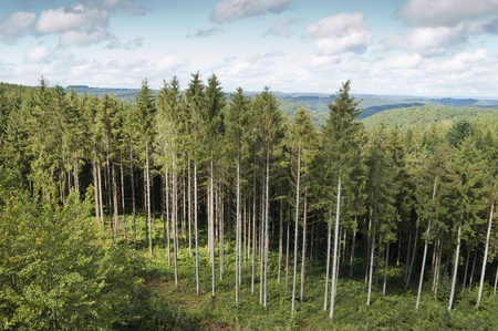 Spruce forest in Bouillon, Belgium