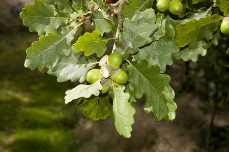 Sessile Oak (Quercus petraea). It is a species of oak native to most of Europe