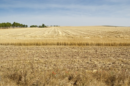Barley stubble in arable landscape in Ciudad Real province, Spain photo