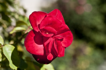 rosales: Picture of a small red rose Stock Photo