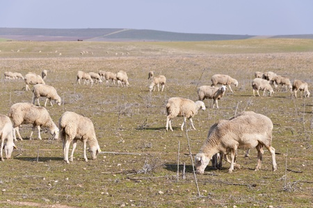 extensive: Flock of sheep grazing in a extensive farming system