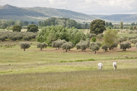 Horses grazing in Ciudad Real countryside, Spain photo