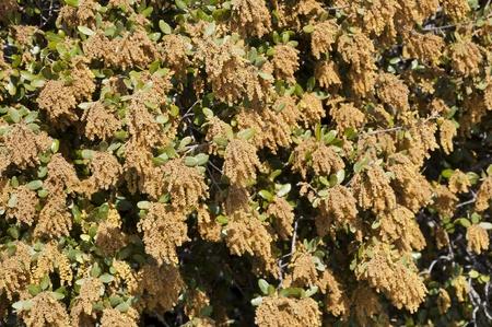 fagaceae: Male flowers of Holm Oak  Quercus ilex subsp  ballota  Stock Photo