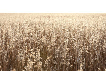 agrarian: Oat field at daybreak in an agrarian landscape in Ciudad Real Province, Spain