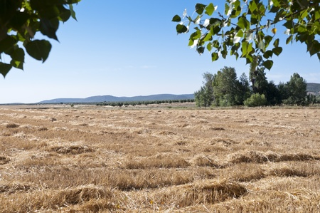 Barley field harvested with poplar grove at the background photo