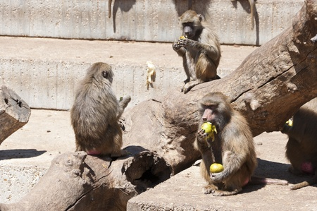 inhabits: Yellow baboon  Papio cynocephalus   It is a baboon from de Old World monkey familiy  It inhabits savannas and light forests in the eastern Africa  Stock Photo