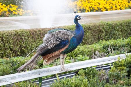 Peacock in public garden photo