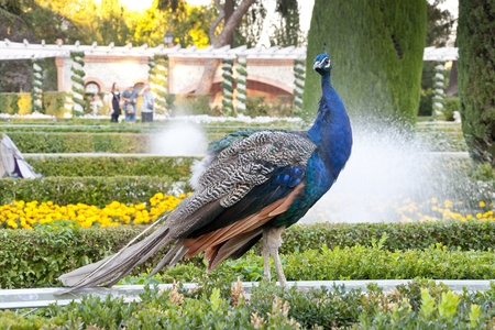 Peacock in public garden photo