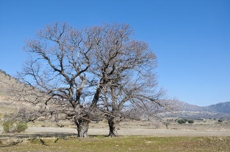 knotty: Bare chestnut trees in winter  Photo taken at the Zarzalejo countryside, Madrid, Spain  Stock Photo