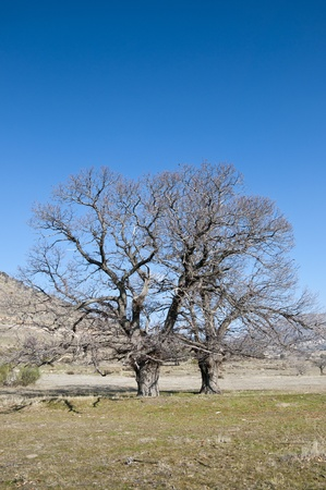 fagaceae: Bare chestnut trees in winter  Photo taken at the Zarzalejo countryside, Madrid, Spain  Stock Photo