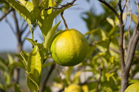 unripened: Bunch of unripened oranges on a branch