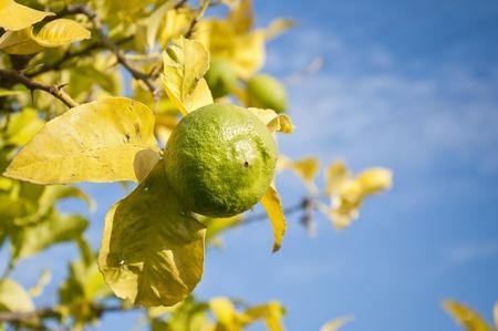 unripened: Unripened lemon on a branch