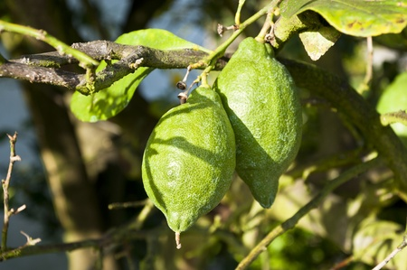 unripened: Unripened lemons on a branch Stock Photo