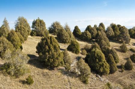 "rocky mountain juniper: Open forest of Juniper tree  Juniperus thurifera  on slopes of ""Hoces del Rio Duraton"" Natural Park, Segovia Province, Spain"