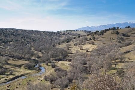 bovid: Cattle grazing in Guadarrama Mountains, Madrid, Spain