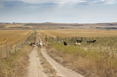 Cattle in a dry agricultural landscape in Ciudad Real Province, Spain Stock Photo - 13568327