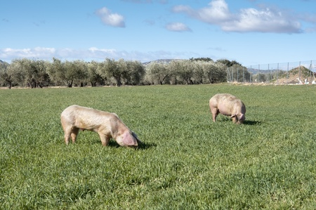 Two pigs grazing in field photo