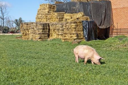 Pig grazing in field photo