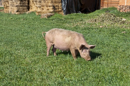 Pig grazing in field photo