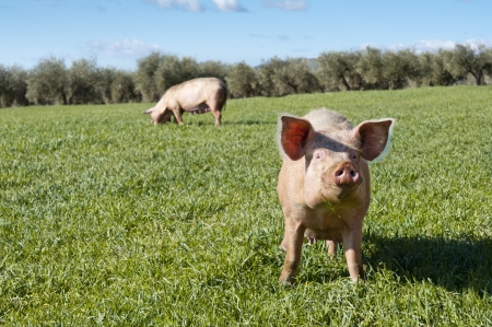 Two pigs grazing in field