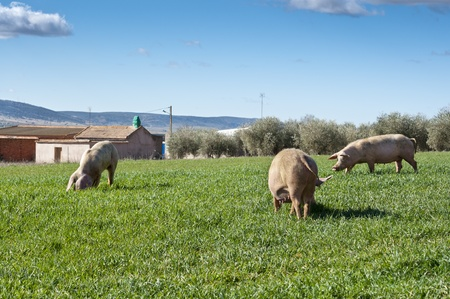 Three pigs grazing in field next to a small hamlet Stock Photo