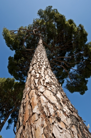 Trunk and branches of Stone Pine  Pinus pinea   It is native to the Mediterranean Region  Stock Photo
