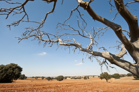 fagaceae: Bare tree in an agricultural landscape  Photo taken in Brea de Tajo, Madrid Province, Spain