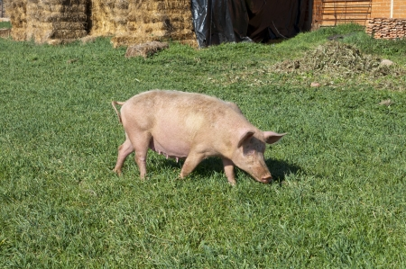 Pig grazing in field  Picture taken in Ciudad Real Province, Spain  photo