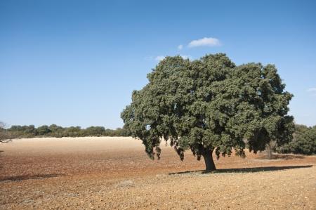 fagaceae: Dehesa in an agricultural landscape  Photo taken in Brea de Tajo, Madrid Province, Spain  Stock Photo