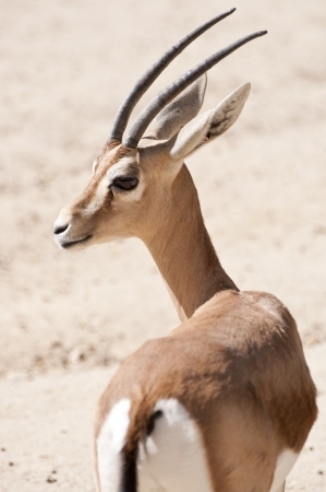 inhabits: Dorcas gazelle, Gazella dorcas  It is a small and common gazelle inhabits grassland, steppe, wadis, mountain desert and in semidesert climates of Africa and Arabia
