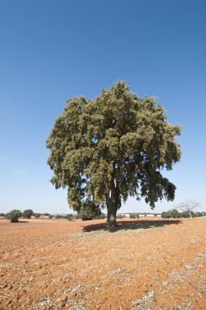 fagaceae: Dehesa in an agricultural landscape  picture taken in Brea de Tajo, Madrid Province, Spain