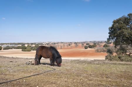 brea: Pony grazing in field  picture taken in Brea de Tajo, Madrid Province, Spain  Stock Photo