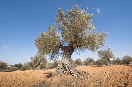 brea: Olive grove  taken in Brea de Tajo, Madrid Province, Spain