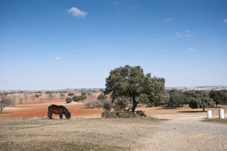 brea: Pony grazing in field  Photo taken in Brea de Tajo, Madrid Province, Spain  Stock Photo