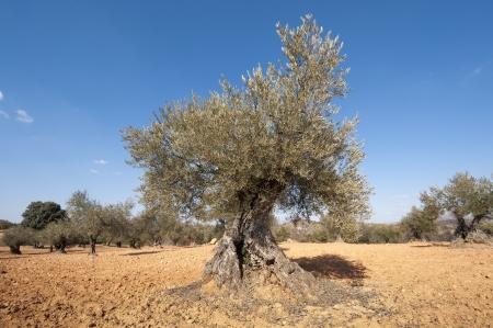 brea: Olive grove  Photo taken in Brea de Tajo, Madrid Province, Spain  Stock Photo