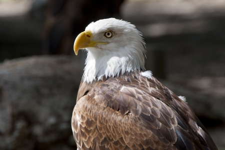 Bald Eagle, Haliaeetus leucocephalus  It is a bird of prey found in North America photo