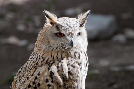 Eurasian Eagle-Owlis, Bubo, bubo  It is a species of eagle owl resident in much of Eurasia Stock Photo - 17314749