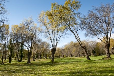 Ash tree grove in Soto del Real, Madrid Province, Spain