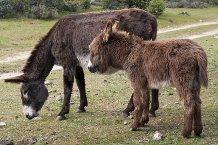 Two donkeys grazing in field  Photo take in Colmenar Viejo, Madrid Province, Spain photo