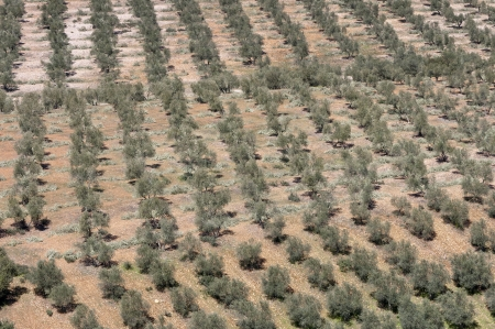 Aerial view of olive groves  Photo taken in Ciudad Real Province, Spain  photo