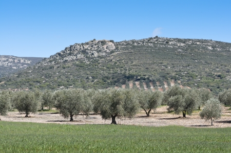 Olive grove at the foot of the mountain  Photo taken in Ciudad Real Province, Spain  photo