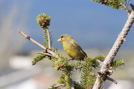 Male of European Greenfinch, Carduelis chloris, perched on a branch of Picea abies