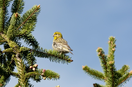 picea: Male of European Serin, Serinus serinus, perched on a branch of Picea abies