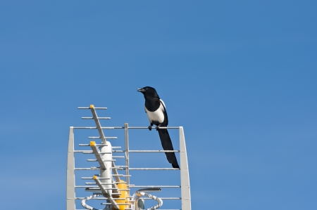 European Magpie, Pica pica, on a TV antenna photo