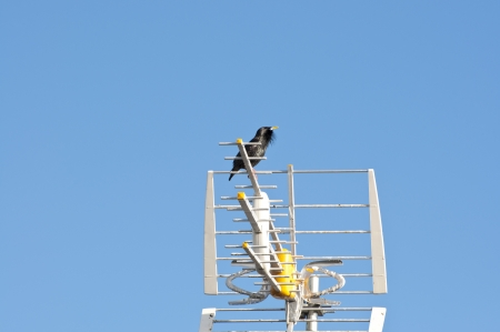 Male of Spotless Starling, Sturnus unicolor, perched on a TV antenna photo