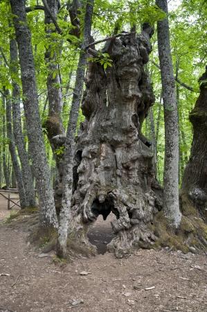 chestnut tree: Ancient chestnut tree in Iruelas Valley Natural Park, Avila, Spain